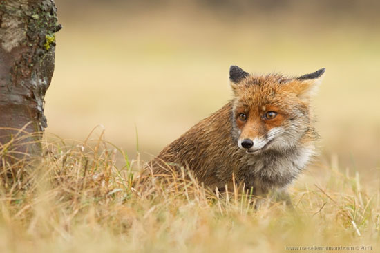不过, roeselien 却花了近一年时间追踪拍摄野生狐狸,更不惜远离城市