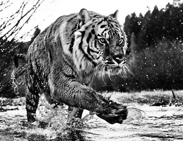 黑白印「象」派:用黑白灰展现动物的美感与力量!