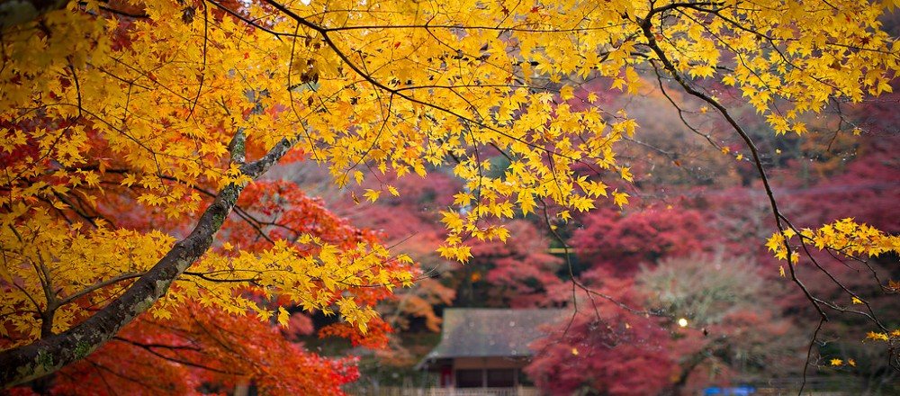 而每年红叶的季节,这里 4,000 棵枫树陆续由绿变黄或转红,美景令人叹